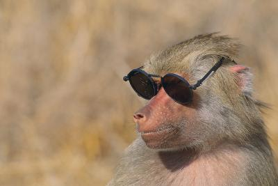Baboon in Sunglasses-DLILLC-Photographic Print
