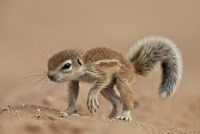 Baby Cape Ground Squirrel (Xerus Inauris)-James Hager-Photographic Print