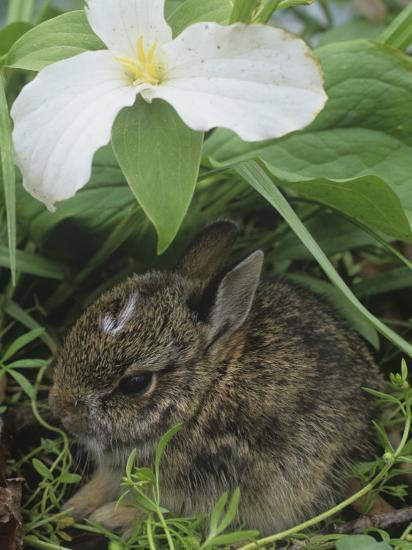 Baby Eastern Cottontail Hiding under a Trillium Flower, Silvilagus Floridanus, Ohio, USA-Gary Meszaros-Photographic Print