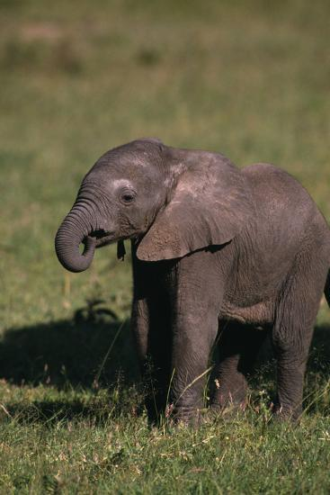 Baby Elephant Curling up its Trunk-DLILLC-Photographic Print