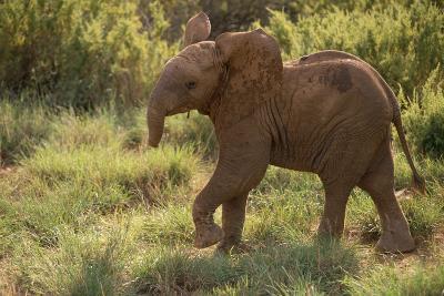 Baby Elephant Flaring its Ears-DLILLC-Photographic Print