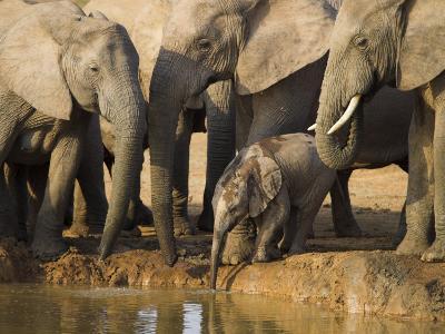 Baby Elephant, Loxodonta Africana, Eastern Cape, South Africa-Ann & Steve Toon-Photographic Print