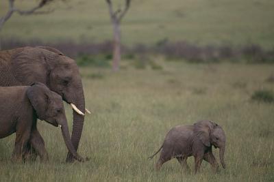 Baby Elephant Taking the Lead-DLILLC-Photographic Print