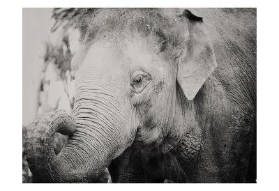 Baby Elephant-Ashley Davis-Art Print