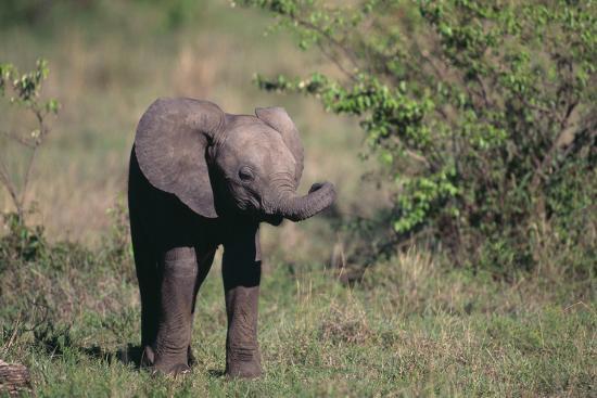 Baby Elephant-DLILLC-Photographic Print