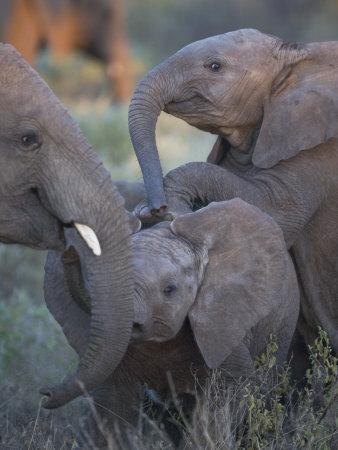 https://imgc.artprintimages.com/img/print/baby-elephants-at-play-in-samburu-national-reserve_u-l-p8et9e0.jpg?p=0