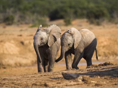 Baby Elephants, Playing in Addo Elephant National Park, South Africa-Steve & Ann Toon-Photographic Print