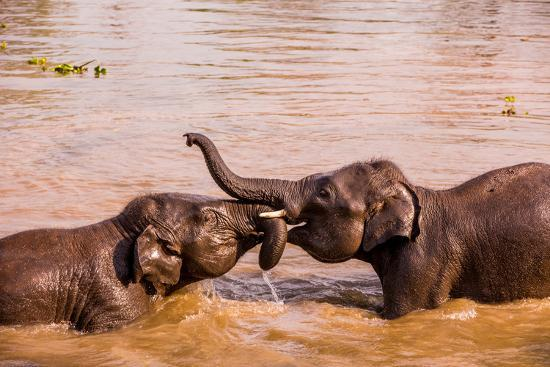 Baby elephants playing in the river, Chitwan Elephant Sanctuary, Nepal, Asia-Laura Grier-Photographic Print