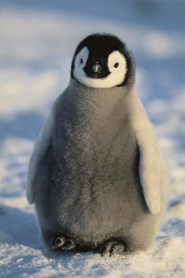 Baby Emperor Penguin-DLILLC-Photographic Print