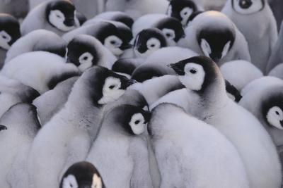 Baby Emperor Penguins-DLILLC-Photographic Print