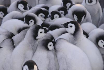 https://imgc.artprintimages.com/img/print/baby-emperor-penguins_u-l-pzre6s0.jpg?p=0