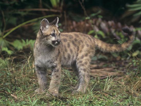 Baby Florida Panther (Felis Concolor), an Endangered Species, South Florida, USA-Robert Lindholm-Photographic Print