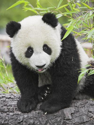 Baby Giant Panda-Frank Lukasseck-Photographic Print