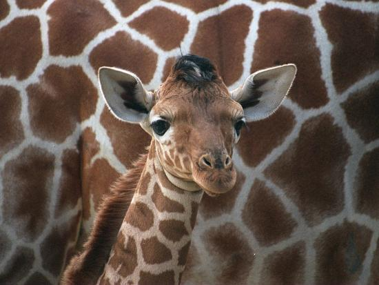 Baby Giraffe at Whipsnade Wild Animal Park--Photographic Print