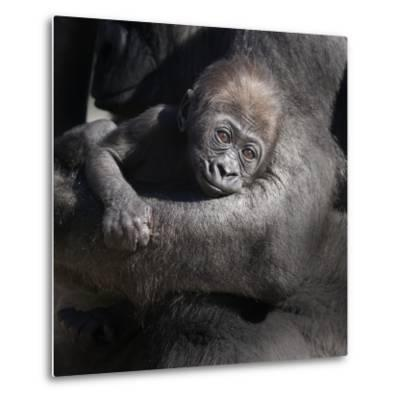 Baby Gorilla Being Held by Mother