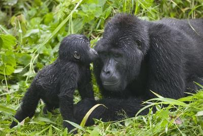 Baby Gorilla Kisses Silverback Male--Photographic Print