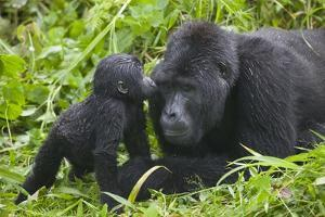Baby Gorilla Kisses Silverback Male