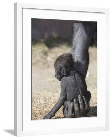 Baby Gorilla Sitting on Mother's Hand--Framed Photographic Print