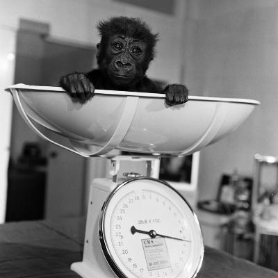 Baby Gorilla, Tips the Scales at 8Lbs 12Ozs 1976-Freddie Reed-Photographic Print