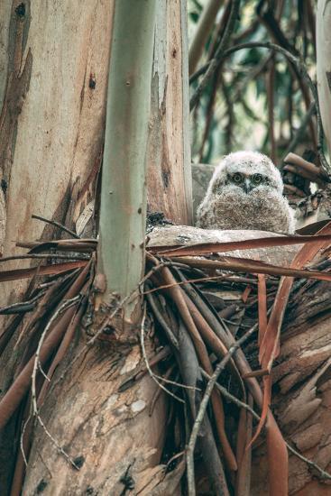 Baby Great Horned Owl in Eucalyptus, Berkeley California-Vincent James-Photographic Print