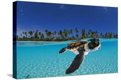 Baby green sea turtle swimming in a tropical paradise-David Doubilet-Stretched Canvas Print