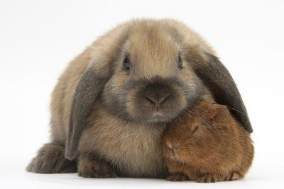 Baby Guinea Pig and Rabbit-Mark Taylor-Photographic Print