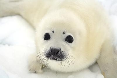 Baby Harp Seal Pup on Ice of the White Sea-Vladimir Melnik-Photographic Print