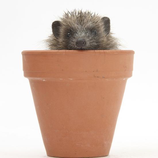 Baby Hedgehog (Erinaceus Europaeus) in a Flowerpot-Mark Taylor-Photographic Print