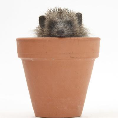 https://imgc.artprintimages.com/img/print/baby-hedgehog-erinaceus-europaeus-in-a-flowerpot_u-l-q10oabr0.jpg?p=0