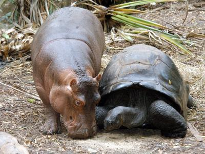 https://imgc.artprintimages.com/img/print/baby-hippo-walks-along-with-its-mother-a-giant-male-aldabran-tortoise-at-mombasa-haller-park_u-l-q10oqnf0.jpg?p=0
