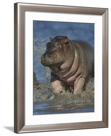Baby Hippopotamus (Hippopotamus Amphibius) Playing In Water, Chobe River, Botswana-Lou Coetzer-Framed Photographic Print