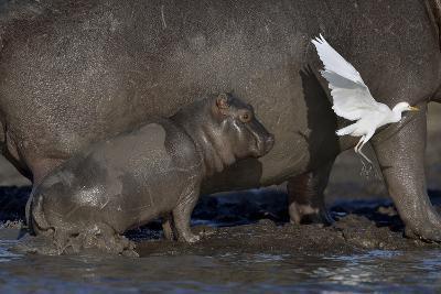 Baby Hippopotamus (Hippopotamus Amphibius) Spooked By Little Egret (Egretta Garzetta) In Flight-Lou Coetzer-Photographic Print