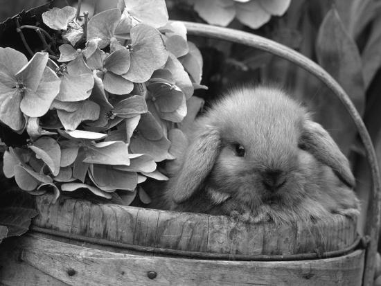 Baby Holland Lop Eared Rabbit in Basket, USA-Lynn M^ Stone-Photographic Print