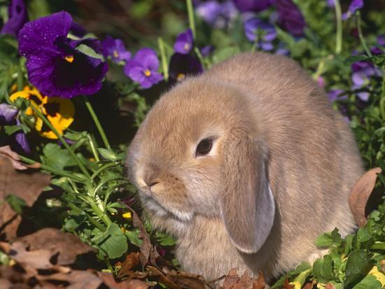 Baby Holland Lop Eared Rabbit, USA-Lynn M^ Stone-Photographic Print