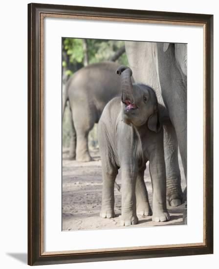 Baby Indian Elephant, Will be Trained to Carry Tourists, Bandhavgarh National Park, India-Tony Heald-Framed Photographic Print