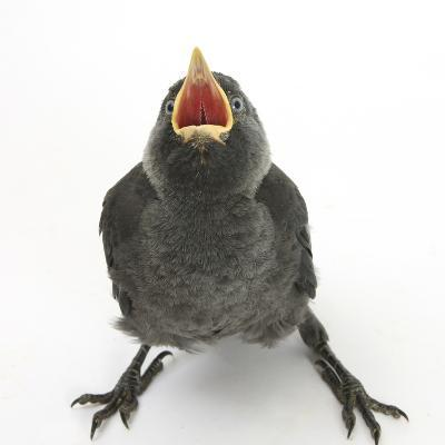 Baby Jackdaw (Corvus Monedula) Gaping to Be Fed-Mark Taylor-Photographic Print