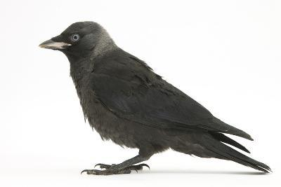 Baby Jackdaw (Corvus Monedula) Profile-Mark Taylor-Photographic Print
