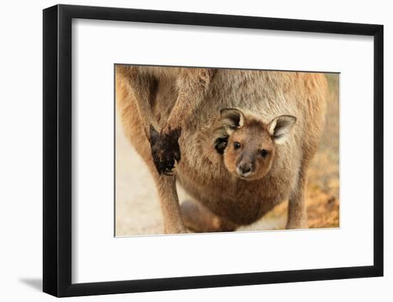 Baby Kangaroo-Joey-in Pouch Premium Giclee Print by | Art com