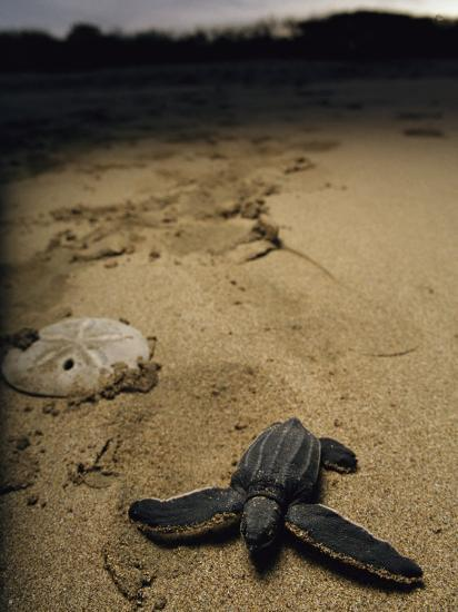 Baby Leatherback Turtle on Beach Near Sand Dollar-Steve Winter-Photographic Print