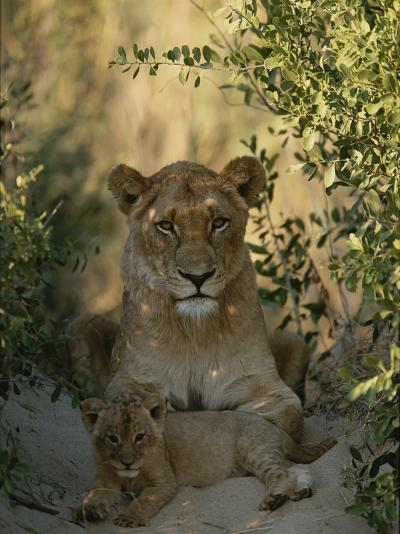Baby Lion, Panthera Leo, Rests at Its Mother's Feet-Kim Wolhuter-Photographic Print