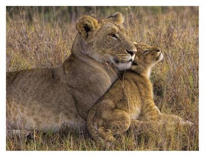 https://imgc.artprintimages.com/img/print/baby-lion-with-mother_u-l-f8wlyv0.jpg?p=0