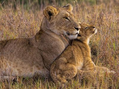 Baby Lion with Mother-Henry Jager-Photographic Print