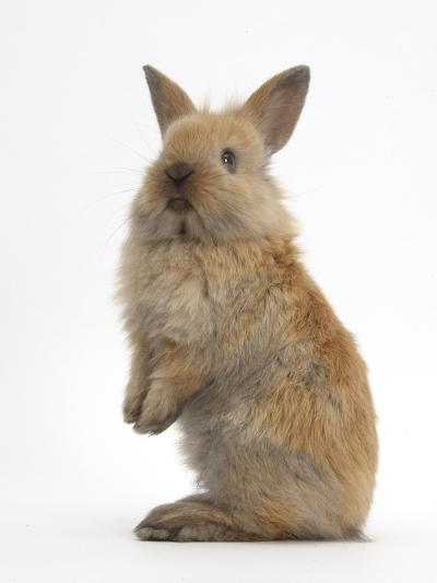 Baby Lionhead Cross Lop Rabbit, Standing-Mark Taylor-Photographic Print