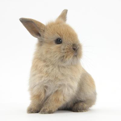Baby Lionhead Lop Cross Rabbit-Mark Taylor-Photographic Print