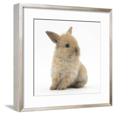 Baby Lionhead Lop Cross Rabbit-Mark Taylor-Framed Photographic Print