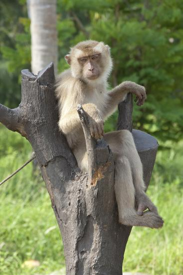 Baby Macaque Monkey, Coconut Plantation, Ko Samui, Thailand-Cindy Miller Hopkins-Photographic Print