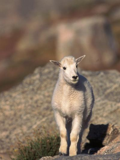 Baby Mountain Goat, Oreamos Americanus, CO-D^ Robert Franz-Photographic Print