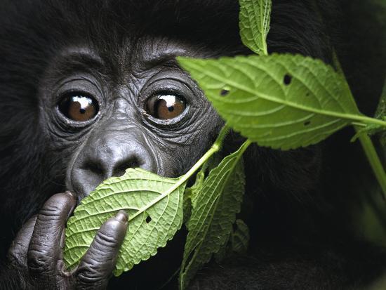 Baby Mountain Gorilla, North West Rwanda-David Yarrow Photography-Photographic Print