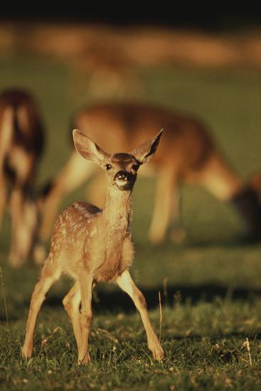 Baby Mule Deer-DLILLC-Photographic Print