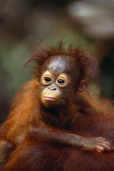 Baby Orangutan Clinging to Mother's Back-DLILLC-Photographic Print